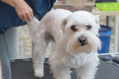 Grooming the background of the white Maltese dog Stock Photo