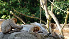 Grooming Barbary Macaques Family Stock Photos