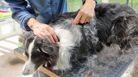 Grooming of the Border Collie stock video footage