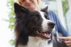 Grooming of Border Collie Royalty Free Stock Image