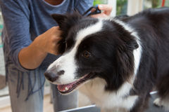 Grooming of Border Collie Stock Photos