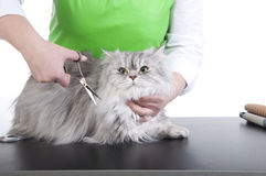 Grooming cat. Master of grooming haircut makes gray Persian cat on the table for grooming on a white background Royalty Free Stock Photo