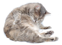 A grooming cat. A fat cat is grooming itself over white Royalty Free Stock Photos
