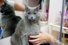 Grooming a cat. In a hair salon for pets stock photography