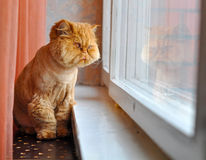 Grooming cat looking out the window Stock Photo