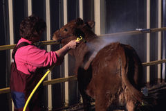 Grooming Cattle. Cow is given a bath and groomed for live stock show by rancher stock photo