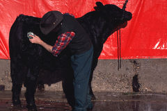 Grooming Cattle. Black Angus cow being groomed for a Live Stock Show by a cowboy stock photography