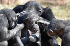 Grooming chimps stock photography