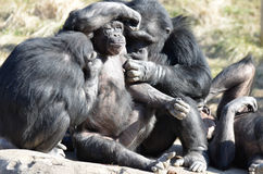 Grooming chimps5 royalty free stock photo