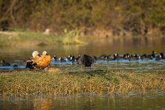 Ruddy shelduck pair closeup sitting in evening light. A grooming display by the Ruddy shelduck pair with a beautiful background and scenery settings at keoladeo royalty free stock images