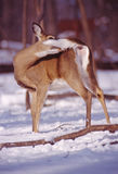 Grooming doe. Whitetail doe grooms herself in the snow and sun royalty free stock images