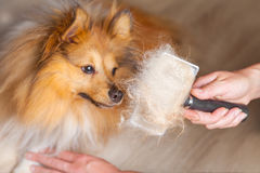 Grooming with a dog brush on a shetland sheepdog Royalty Free Stock Photography