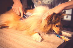 Grooming with a dog brush on a shetland sheepdog Royalty Free Stock Photos