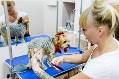 Grooming a dog. In a hair salon for dogs stock photo