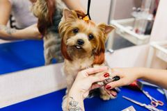 Grooming a dog. In a hair salon for dogs stock image
