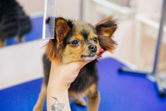 Grooming a dog. In a hair salon for dogs stock photos