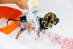 Grooming a dog royalty free stock photography