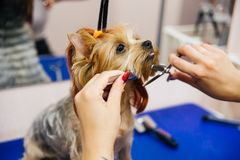 Grooming a dog. In a hair salon for dogs royalty free stock photo