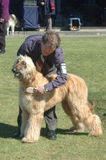 Grooming the dog. Handler grooms his afghan hound before judging at a dog show on October 17, 2007 in Greymouth, New Zealand royalty free stock photography