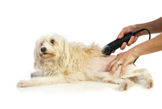 Grooming the dog Royalty Free Stock Photos