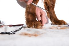 Irish dog setter grooming at the salon for dogs, isolated stock images