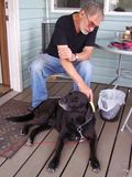 Grooming the dog. Senior man takes good care of his pet Lab royalty free stock photography