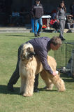 Grooming the dog. Unidentified handler grooms his afghan hound before judging at a dog show on October 17, 2007 in Greymouth, New Zealand stock photos