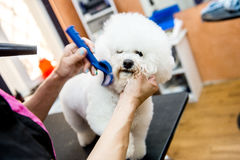 Grooming dogs Bichon Frise in a professional hairdresser. A small beautiful and adorable white bichon frise dog being groomed by a professional groomer using Stock Images