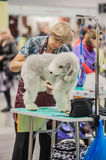 Grooming dogs at the show. St. Petersburg, Russia stock photography