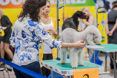 Grooming dogs at the show Royalty Free Stock Photography