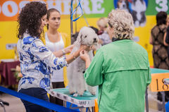 Grooming dogs at the show. St. Petersburg, Russia royalty free stock photography