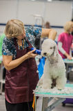 Grooming dogs at the show. St. Petersburg, Russia royalty free stock photos