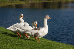 Grooming domestic geese Stock Image