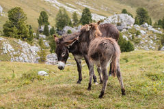 Grooming donkeys Royalty Free Stock Photos