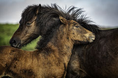 Grooming each other. royalty free stock photography