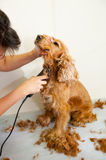 Grooming. Female groomer haircut Cocker Spaniel Royalty Free Stock Photo