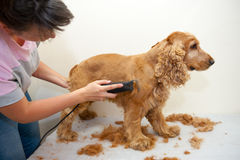 Grooming. Female groomer haircut Cocker Spaniel royalty free stock photography