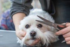 Grooming fringe of white dog Royalty Free Stock Images