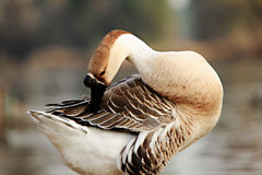 Grooming Goose Stock Images