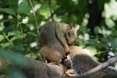 Grooming Grey Squirrel Stock Image