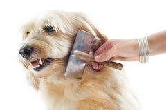 Grooming griffon Stock Image