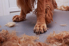Grooming the hair of dog Stock Photos