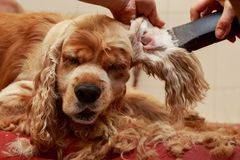 Grooming the hair of dog. Grooming hair of a dog Cocker Spaniel stock photography