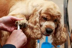 Grooming the hair of dog. Grooming hair of a dog Cocker Spaniel royalty free stock image