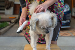 Grooming and haircut dog fur by human with clipper. Grooming and haircut the dog fur of beige dog so cute mixed breed with Shih-Tzu, Pomeranian and Poodle by stock photo