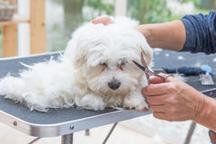 Grooming the head of white dog. Grooming the head of white Maltese dog by scissors. The dog is laying next to the pile of hair on the grooming table Royalty Free Stock Photos