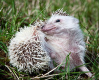 Grooming hedgehog Stock Images