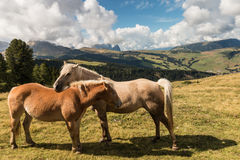 Grooming horses Royalty Free Stock Photo