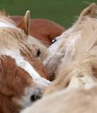 Grooming Horses Stock Photo
