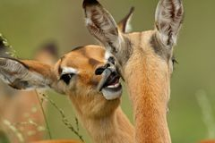 Grooming Impalas. Two young Impala antelopes groom each other Royalty Free Stock Photography